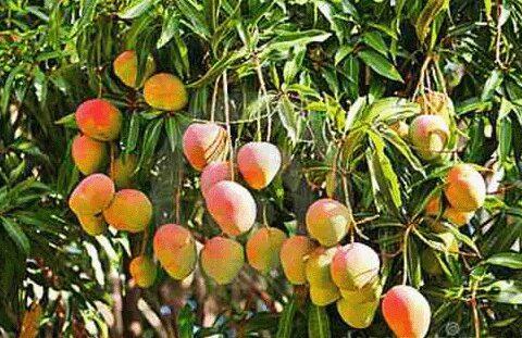 Comenzó cosecha de mango