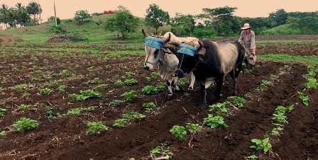 Sembrar y aplicar todas las acciones de agrotecnia para más producción de alimentos en Santiago de Cuba.
