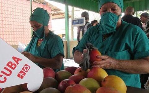 Producción de mangos en El Caney