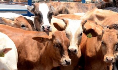 Por una mejor genética en el ganado