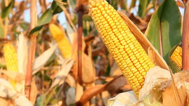 Producción de maíz en Santiago de Cuba