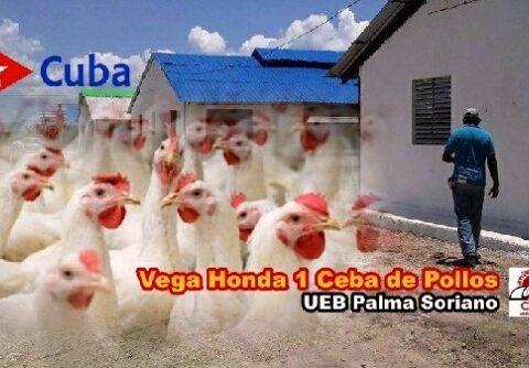 Rescate UEB palmera Vega Honda 1 para las cebas de 91 mil 100 pollos por ciclo