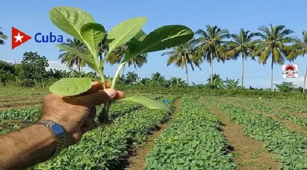 Campaña tabacalera en el municipio Contramaestre, Santiago de Cuba.