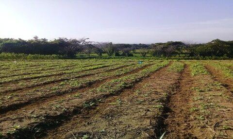 Afectaciones en los cultivos en Contramaestre por las lluvias