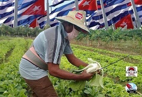 Contramaestre producción de alimentos en la agricultura urbana 2021